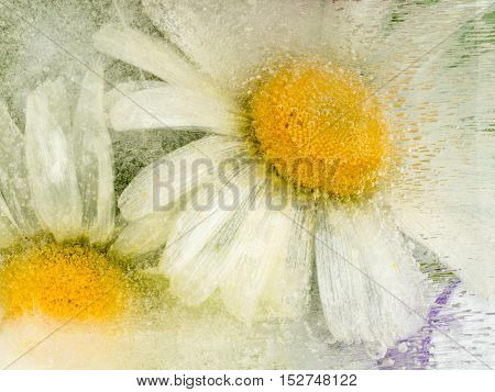 beautiful icy abstraction of the delicate flowers of camomile with yellow center frozen in clear water with air bubbles