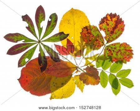 beautiful bright colored spotty Autumn leaves from different plants isolated on white background