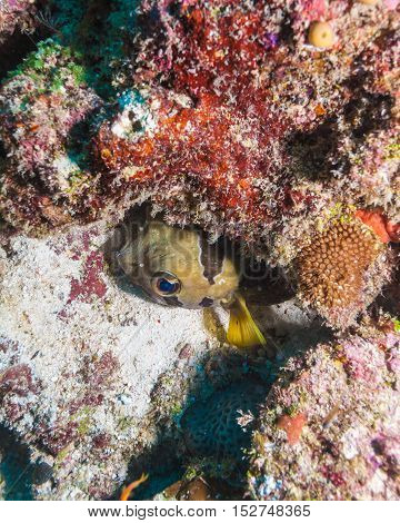 The Black-blotched Porcupinefish (diodon Liturosus), Maldives