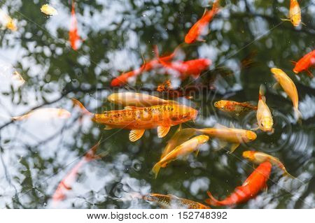 Gold and red fish in aquarium which reflects the sky. Top view