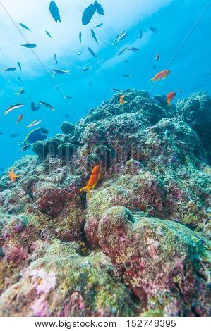 Colorful Ocean Landscape With Lstone Corals In The Maldives