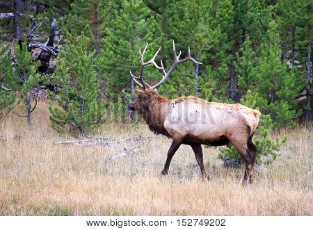 Large bull elk walking through the wilderness in Yellowstone National Park.