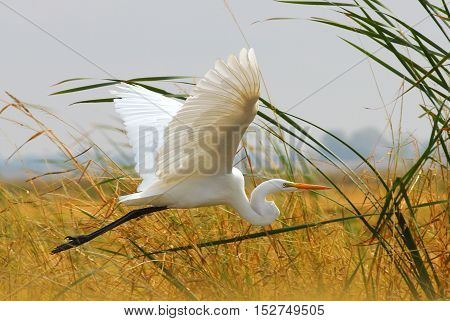 Great Egret (White Heron) Flying in the Clouds