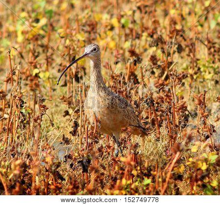 Long-billed Curlew (Numenius americanus) in the Grass