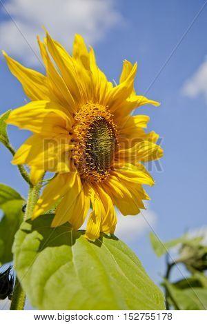 Sunflower on blue sky background, bloom, summer
