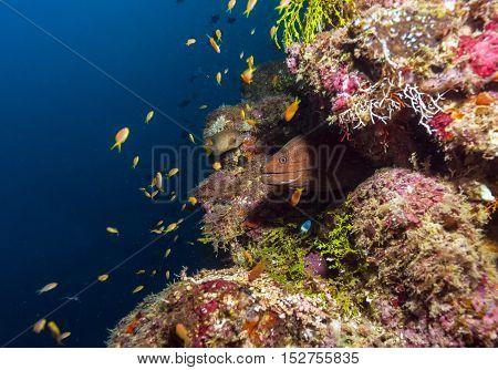 Giant moray eel (Gymnothorax javanicus) in Maldives