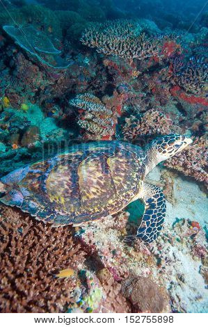Green Turtle Laying On Coral Seabed Maldives