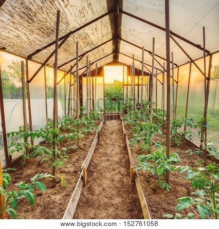 Tomatoes Vegetables Growing In Raised Beds In Vegetable Garden And Hothouse Or Greenhouse. Summer Season