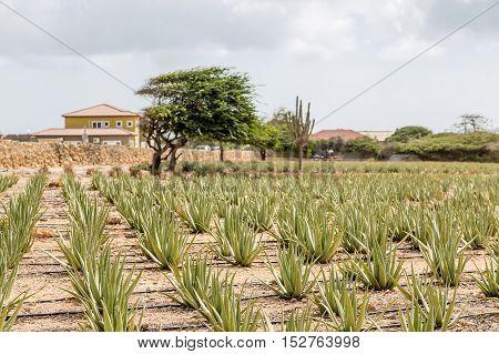 Rows of Aloe Vera plants in an Aruba plantation