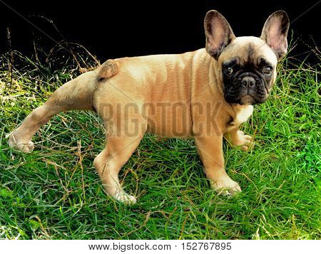 Waiting you: Pale yellow puppy of French bulldog on green grass with black background