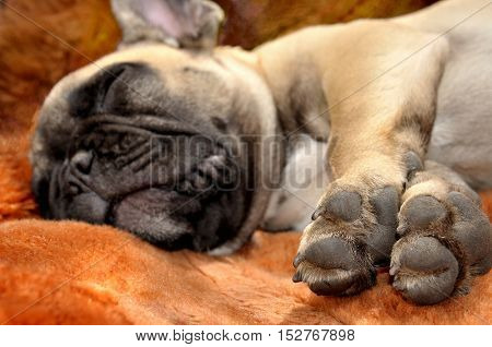 Sleeping happiness: Pale yellow puppy of French bulldog on brown background