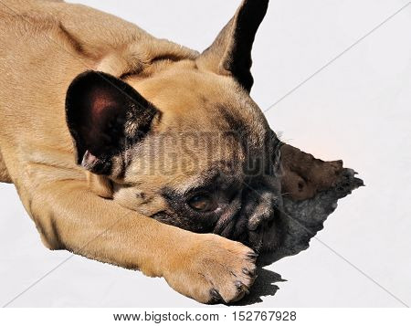 Pale yellow puppy of French bulldog on white background