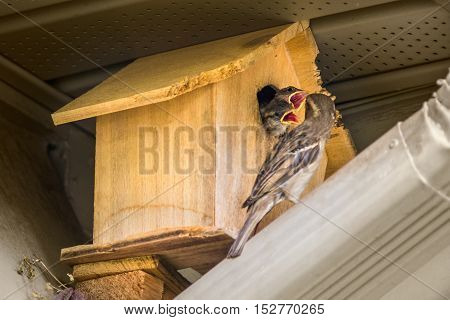 Closeup of adult sparrow feeding two baby sparrow chicks with open mouths in birdhouse