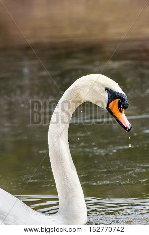 Swan head and neck by dirty brown lake with water drops