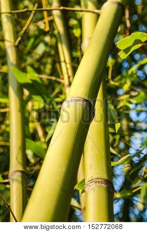 Vertical closeup of green bamboo stalks against sky