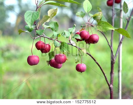Small ripe paradise apples hangs on a tree in the garden in sunny summer day horizontal view