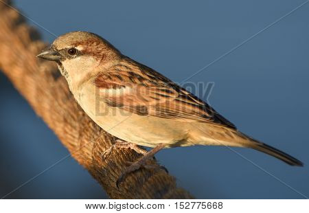 Sparrow standing on brown rope, isolated, closeup.