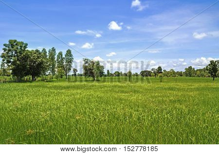 green rice field and beautiful nature at countryside