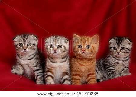 four various british kittens sitting on red plaid