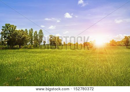 green rice field and beautyful nature and sunrise
