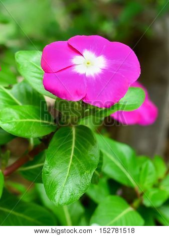 Beautiful vinca flower with nature green leaf background.