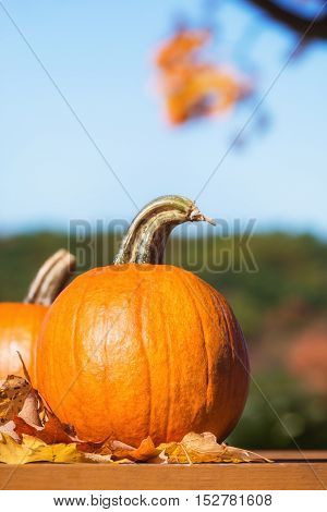 Pumpkins against autumn trees and blue sky. Copy space.
