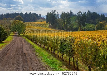 Oregon Vineyard in Willamette Valley. A picturesque view of a vineyard in Oregon show's that it's almost time to start harvesting the wine grapes in the fall season.