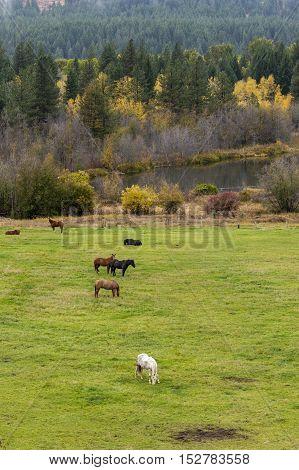 Grazing horses in meadow near Winthrop Washington.