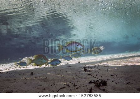 A school of Blackspotted Sunfish swim in formation just about the sandy bottom in the clear freshwaters of Morrison Springs a coutny park in northewast Florida.
