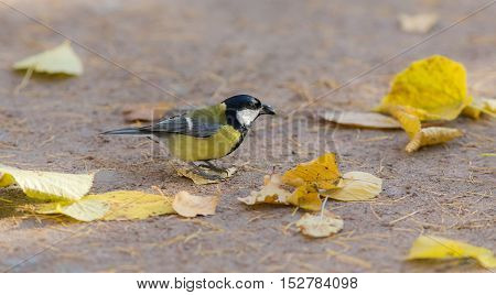 tit with seeds on the ground in the fall
