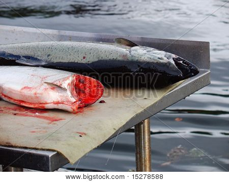 Freshly caught salmon being cleaned