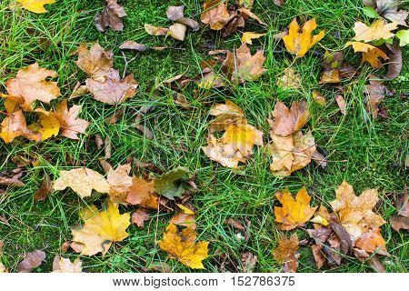 Fallen leaves on green grass, autumn background.