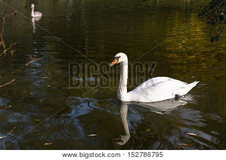 White Swan swimming in the pond.