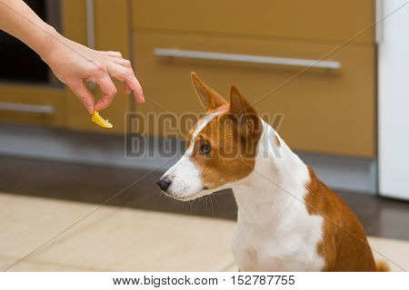 Cute basenji dog doesn't want to eat lemon - this is strange human food