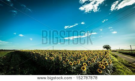 Sunflowers Field In A Summer Day