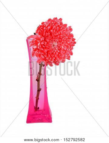 Red Chrysanthemum Flowers in pink vase with isolated white background.