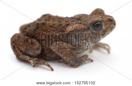 closeup of brown frog isolated on white