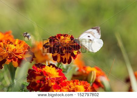 white butterfly sitting on marigold close up