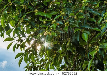 background with Morning sun Shining through leaves