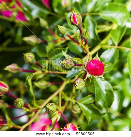 Rosebuds From Plant