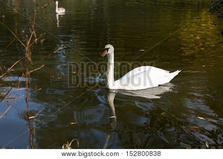 White Swan floating on the lake.