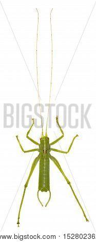 Southern Oak Bush Cricket on white Background - Meconema meridionale (Costa 1860)