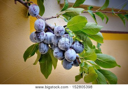 Plums on a tree in a garden on wall background