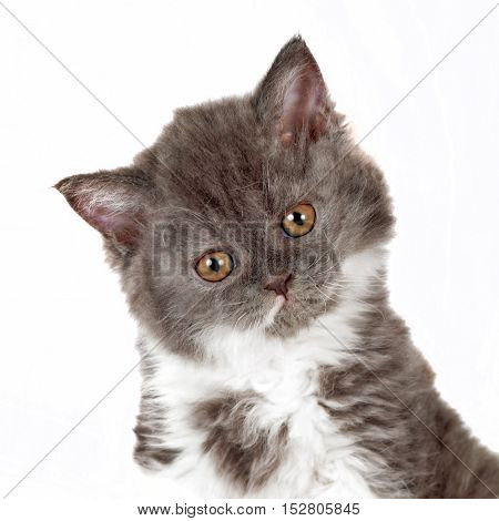 kitten Selkirk Rex on white background gray-white color cute pet for the family tipped his head to one side closeup portrait