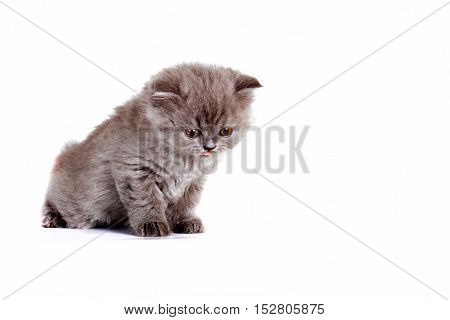 kitten Selkirk Rex on white background gray color cute pet for the family