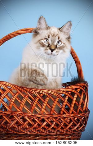 Young cat Neva masquerade sits and plays in the brown basket blue background Studio photography of a kitten