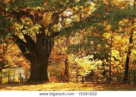 Hermoso árbol de roble antiguo en otoño