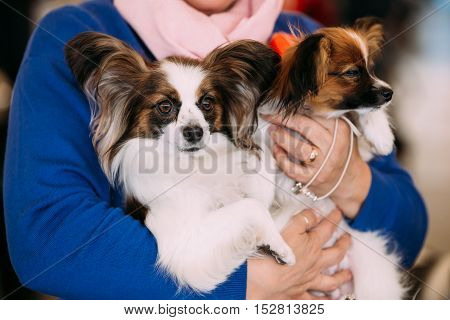 The Papillon dog also called the Continental Toy Spaniel, is a breed of dog of the Spaniel type. Butterfly-like ears