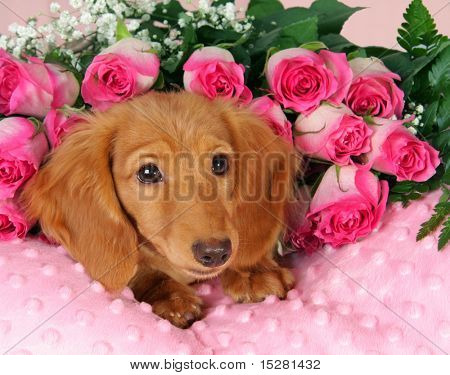 Dachshund puppy surrounded by roses
