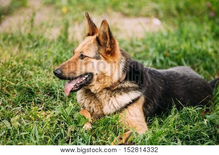 Medium Size Mixed Breed Dog Sit In Green Grass Outdoor